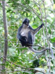 Thomas's Leaf Monkey: Presbytis thomasi